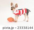 ラグビーボールとヨークシャテリアの子犬 23338144