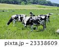 放牧中の乳牛 23338609