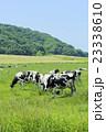 放牧中の乳牛 23338610