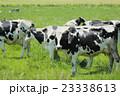 放牧中の乳牛 23338613