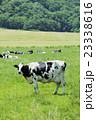 放牧中の乳牛 23338616