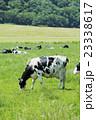 放牧中の乳牛 23338617