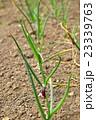 レッドアイアーリー(玉ねぎ)の植え付け 23339763