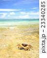 オカガニ 吉野海岸 海の写真 23340285
