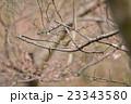 山桜の枝に止まるウグイス 23343580