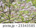 山櫻とウグイス 23343585