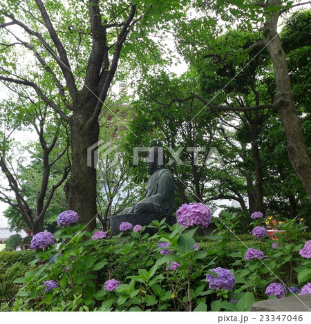 紫陽花に囲まれた浅草寺の仏様 23347046