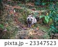 森の中のタヌキ 23347523