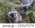 森の中のタヌキ 23347570