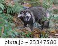 森の中のタヌキ 23347580