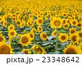北海道 北竜町のひまわりの里 23348642