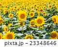 北海道 北竜町のひまわりの里 23348646