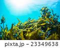 葉山の海の海藻 23349638