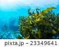 葉山の海の海藻 23349641