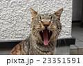 あくび猫 23351591