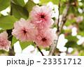 大村桜 23351712
