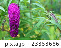 ブッドレア 植物 花の写真 23353686