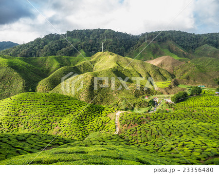 Tea plantation in the Cameron highlands 23356480