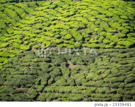 Tea plantation in the Cameron highlands 23356481