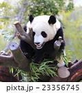和歌山アドベンチャーワールドのパンダ 23356745