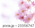 しだれ桜 23356747