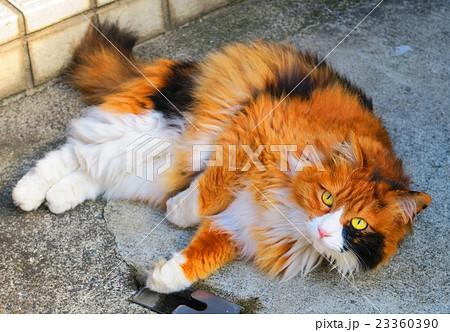 ヒマラヤンに似た長毛種の雑種の三毛猫 23360390