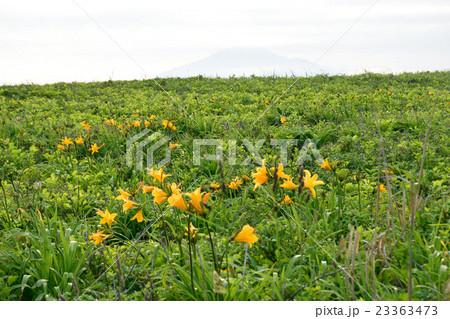 サロベツ原野に咲く花 23363473