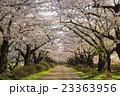 北上展勝地の桜並木 岩手県北上市 23363956