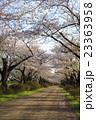 北上展勝地の桜並木 岩手県北上市 23363958