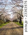 北上展勝地の桜並木 岩手県北上市 23363976