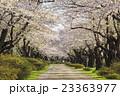 北上展勝地の桜並木 岩手県北上市 23363977