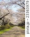 北上展勝地の桜並木 岩手県北上市 23363979
