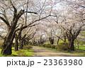 北上展勝地の桜並木 岩手県北上市 23363980