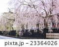 角館のシダレザクラ 秋田県仙北市 23364026