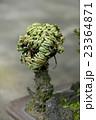 イワヒバの乾燥時 23364871
