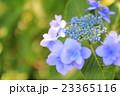 花 紫陽花 額紫陽花の写真 23365116