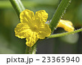 キュウリの花 23365940