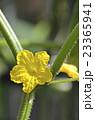 キュウリの花 23365941