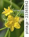 キュウリの花 23365942