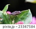 キノボリトカゲの一種 23367584