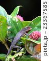 キノボリトカゲの一種 23367585