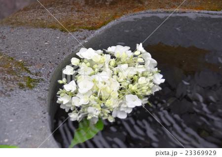 水盆の紫陽花 23369929
