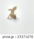 ニホンカナヘビ 23371076
