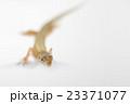 ニホンカナヘビ 23371077