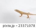 ニホンカナヘビ 23371078