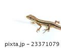 ニホンカナヘビ 23371079
