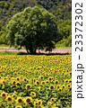 sunflower field with a tree, Provence, France 23372302