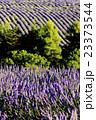 フラワー 花 ラベンダーの写真 23373544