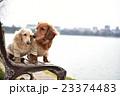 ミニチュアダックス ベンチ 犬の写真 23374483