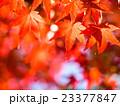 紅葉 楓 葉の写真 23377847